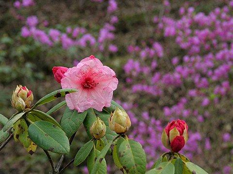 石楠花(シャクナゲ)の花と・コバノミツバツツジの花