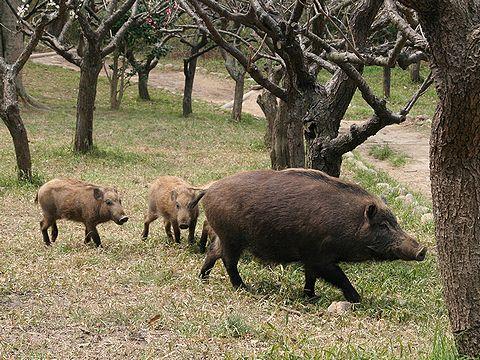 猪(亥・イノシシ)の写真画像・無料写真素材