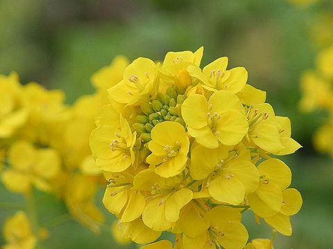 菜の花の写真/たつの市御津町黒崎菜の花畑
