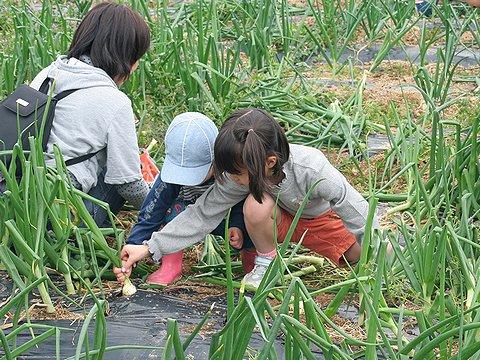 みとろレンゲ祭り恒例の玉ねぎ掘り/加古川