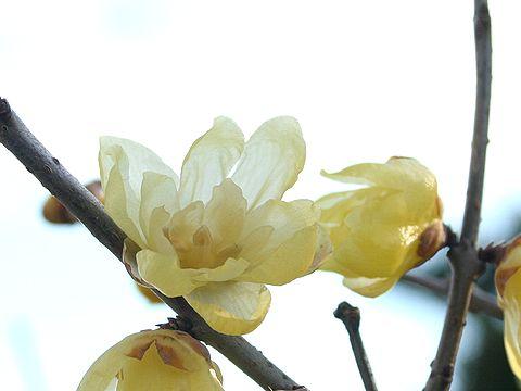 蝋梅(ロウバイ)の花は満開で見頃・世界の梅公園/たつの市御津町