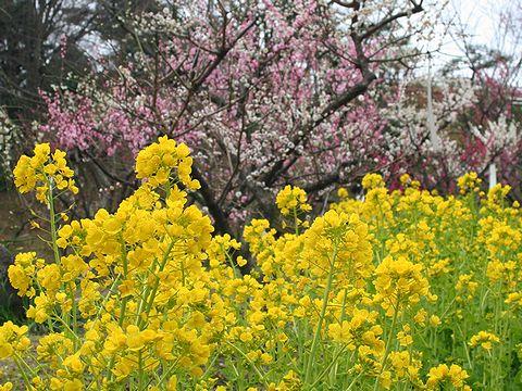 菜の花と梅の花・神戸須磨離宮公園の梅林「梅花園」/神戸市