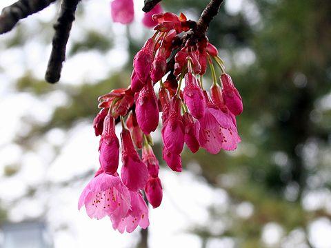 寒緋桜の花(かんひざくら・緋寒桜)/桜の花写真