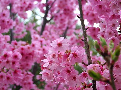 緋寒桜(ヒカンザクラ)の花・加古川ウェルネスパーク,平荘湖/加古川市