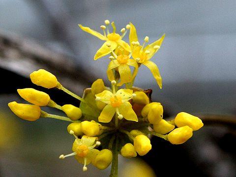 山茱萸(サンシュ)の花 / 春の花