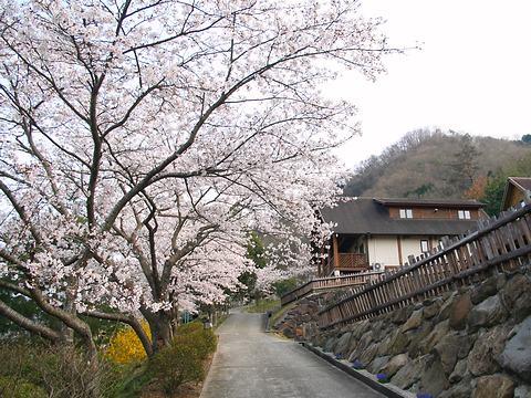 笹が丘公園の桜/佐用町