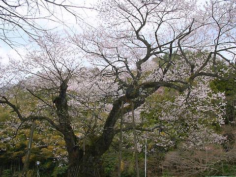 おまき桜(麻蒔桜)・兵庫県最大のエドヒガンの巨木/豊岡市