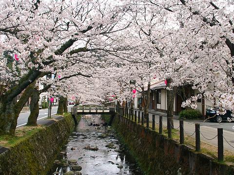 城崎温泉の桜並木/豊岡市