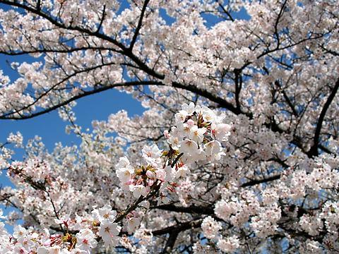 北山貯水池の桜の花/西宮市