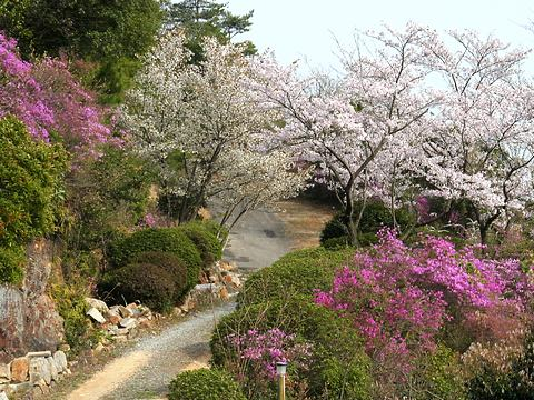 坂越妙見寺の桜とミツバツツジ/赤穂市