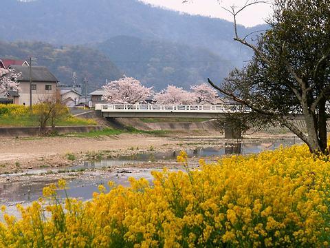 西山公園の菜の花畑と桜/たつの市