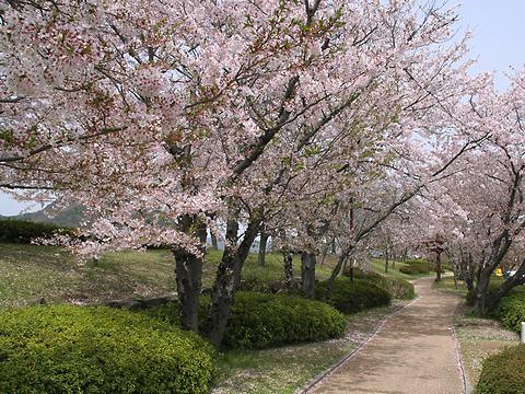 中川原公園と揖保川の桜並木/たつの市
