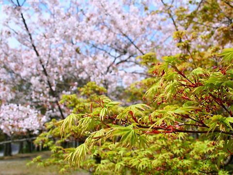 モミジの新緑と桜・石ヶ谷公園/明石市