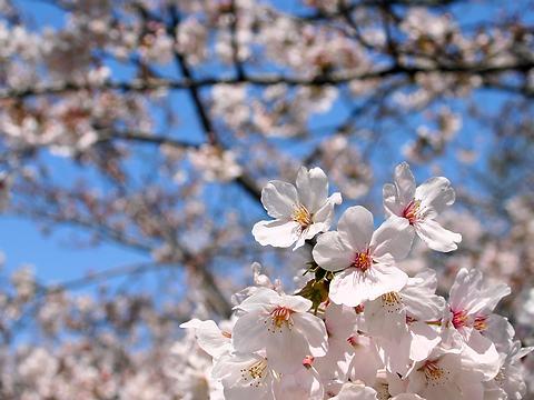 日岡山公園桜の花/加古川市