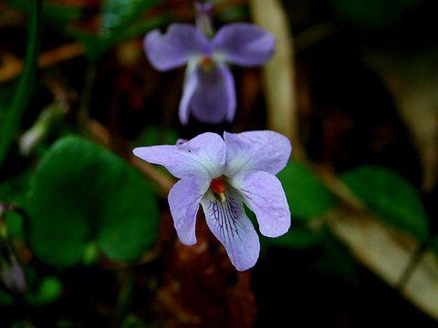 スミレの花/春の花写真画像素材