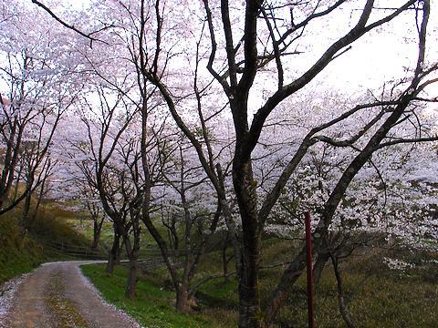 ケサカ桜公園/養父市