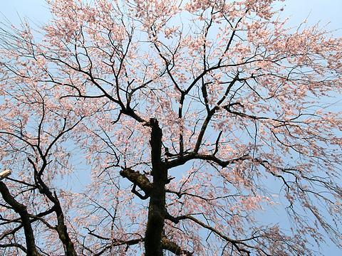 泰雲寺のしだれ桜/新温泉町