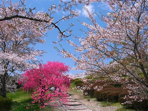 いこいの村播磨の桜並木/加西市