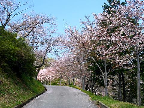 0丸山公園の桜並木/加西市