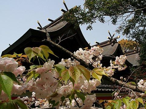 住吉神社境内にある八重桜が満開です