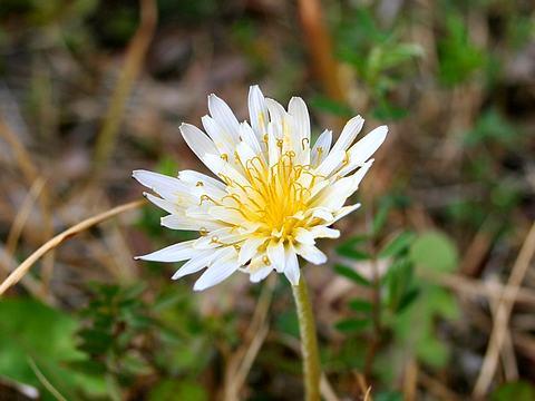 白花タンポポの花