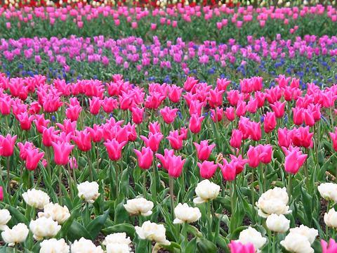 チューリップの花・光都チューリップ園/上郡町