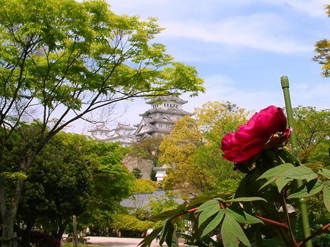 牡丹(ボタン)の花・千姫ぼたん園と姫路城/姫路市
