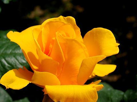 薔薇(バラ)の花・須磨離宮公園王侯貴族のバラ園/神戸市須磨区