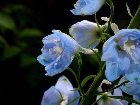 デルフィニュームの花