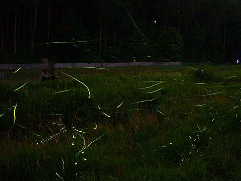 住吉川の蛍(ホタル)の乱舞・蛍(ホタル)の光跡/西脇市中畑町 にしわき中畑工場公園