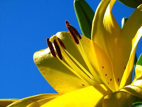 百合(ユリ)の花