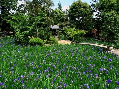 神戸 多聞寺の杜若(カキツバタ)