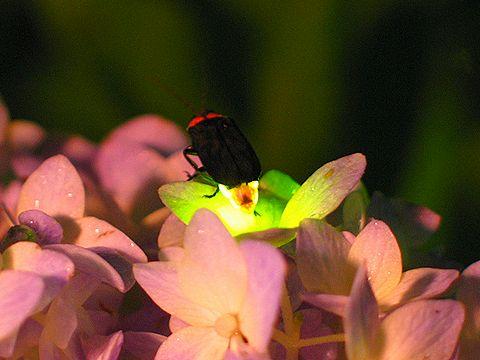 あじさいの花の上で光を放つ蛍(ホタル)