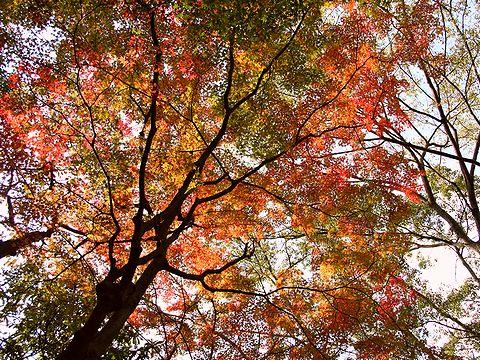 布引の滝近くのもみじの紅葉/神戸市