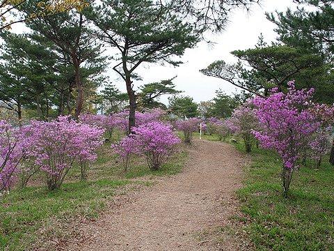 みとろフルーツパーク・八つ塚古墳群周辺のコバノミツバツツジ/加古川