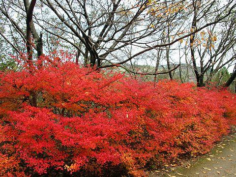 摩耶満天星つつじ(ドウダンツツジ)の紅葉/摩耶山