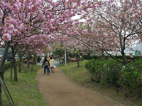 八重桜並木・八重桜のトンネル/小野市梁瀬苑桜つづみ