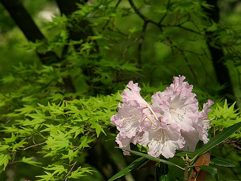 石楠花の花と天空の城・利神城跡/佐用町平福