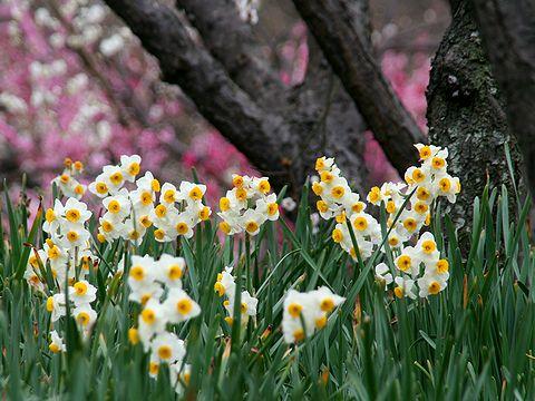 水仙の花と梅の花・神戸須磨離宮公園の梅林「梅花園」/神戸市