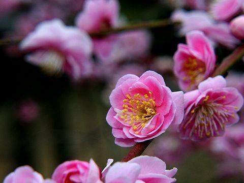 岡本梅林公園の梅の花/神戸市