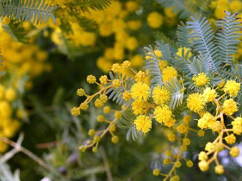 アカシアの花・春の花