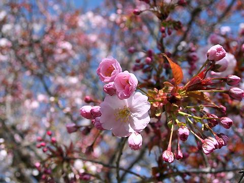 赤穂御崎の桜の花/赤穂市
