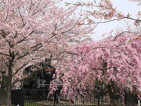中川原公園のSL・蒸気機関車と桜/たつの市