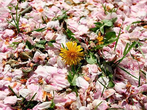 桜の花吹雪に埋もれるタンポポの花・石ヶ谷公園 /明石市