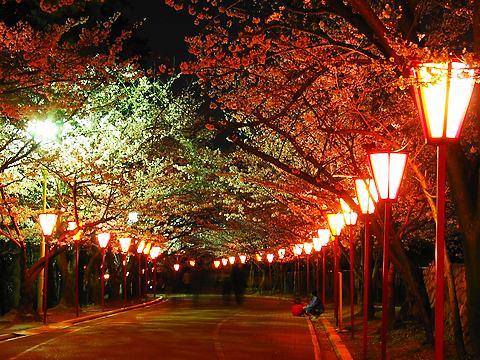 日岡山公園の桜と夜桜ライトアップ/加古川市