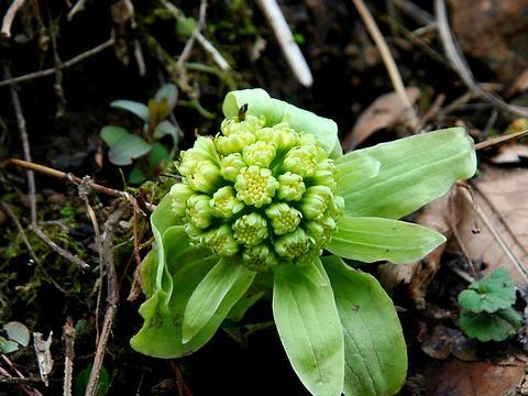 フキノトウ/春の花写真画像素材