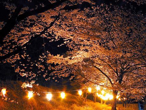 丹治桜公園の桜のライトアップ・夜桜/加美町