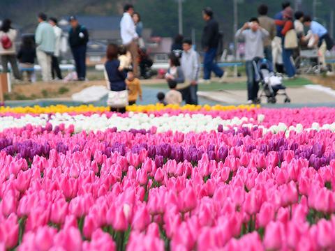 満開のチューリップの花とたんとうチューリップ祭り会場/豊岡市但東町