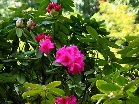 石楠花(シャクナゲ)の花・須磨離宮公園/神戸市須磨区