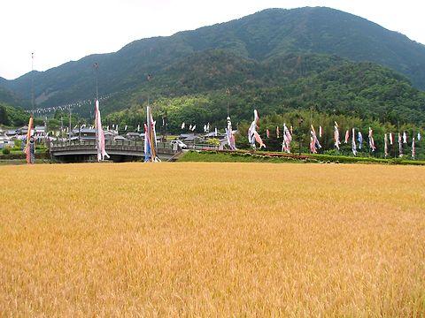 麦秋と鯉のぼり/神河町の麦畑